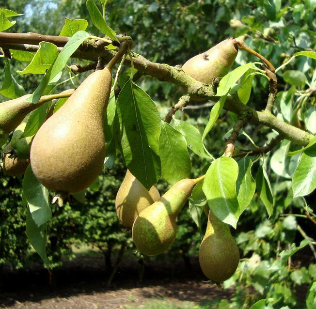 31.07.11 pears