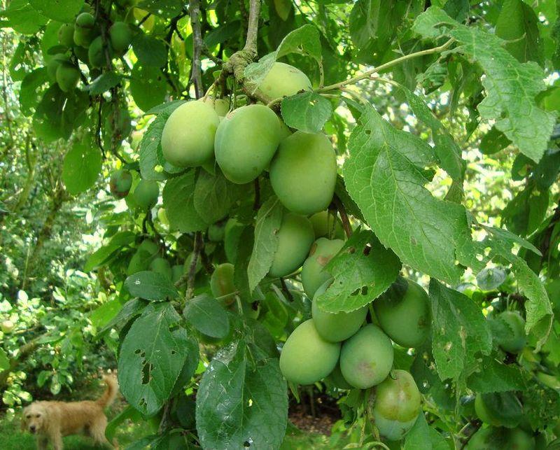 31.07.11 plums