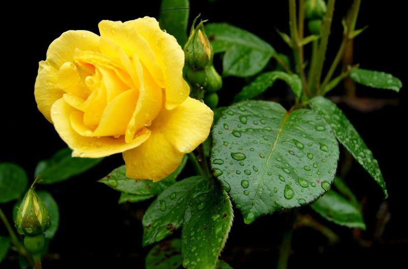 Rose in rain1 16.07.11
