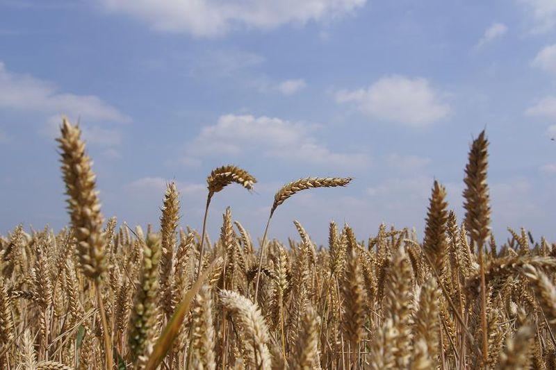 Corn tipping